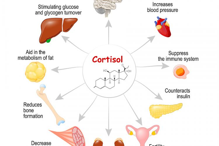 Stress hormone causes glucose issues